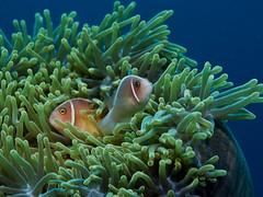 Pink anemonefish 6 (Paul Flandinette) Tags: ocean fish indonesia nikon underwater clownfish northsulawesi anemonefish marinelife underwaterphotography bunaken nemofish pinkanemonefish amphiprionperideraion beautifulfish paulflandinette