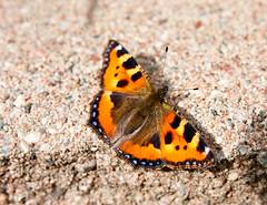Fjäril (G Er Foto) Tags: macro closeup natur montage insekt fjäril vikarbyn fjril