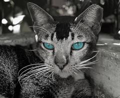 Blue Eyed Feline.