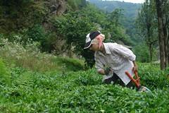 Tea picking in Hemshin (CharlesFred) Tags: turkey women tea türkiye turkiye te turkce teagarden chai turkish teaplantation hemsin blacksearegion womenatwork womenworking teapicking turkishwomen hemshin ту́рция rizeprovince karadeni чёрноемо́ре