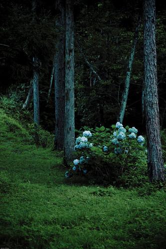 17428 : Hydrangea at midsummer