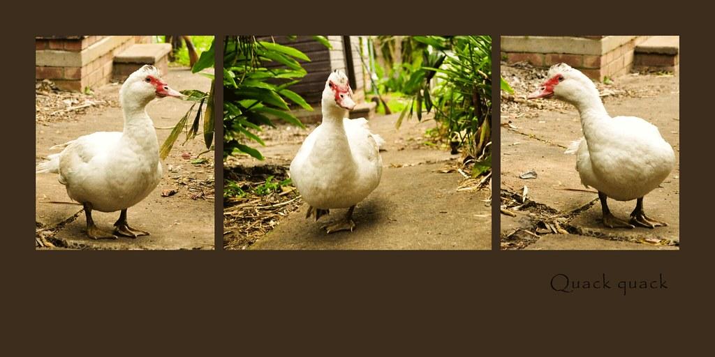 New duck