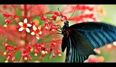 Great Mormon Swallowtail (1davidstella) Tags: macro art nikon ngc butterflies manipulations again kotakinabalu blink tamron 90mm sabah batik d300 topshots mywinners impressedbeauty goldstaraward natureselegantshots spiritofphotography kipandibutterflypark rubyphotographer 1davidstella physis 4tografie ringexcellence