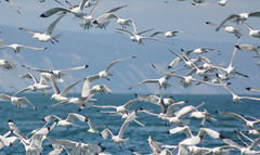 Air Traffic Control - Homer, Alaska (drurydrama (Len Radin)) Tags: alaska traffic flock homer rissa kittiwake blackfeet tridactyla blackfooted