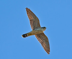 Merlin, Hawk Migration, Long Key, Florida Keys (kevansunderland) Tags: birds hawk raptor merlin falcon birdsinflight floridakeys birdphotography longkey floridabirds hawkmigration