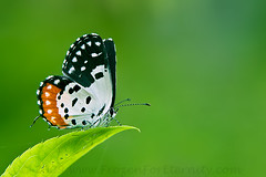 Red Pierrot (The Eternity Photography) Tags: india macro closeup canon butterfly insect asia wildlife bangalore stack karnataka 2009 digitalphotography extensiontube in lycaenidae banerghatta 14x papilionoidea butterflypark indiatourism indianwildlife incredibleindia iloveindia 14xtc 40d redpierrot talicadanyseus canonef70200mmf28lisusmlens banerghattanationalpark visitindia santanubanik theeternity alemdagqualityonlyclub santanubanik        wwwfrozenforeternitycom wwwmomentsofnaturecom