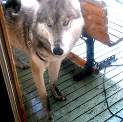"""Don't they know I want to come in""? (alaska12) Tags: busy diggingbones freshwetdirt coryhelp missblacknoseanddirtypaws"
