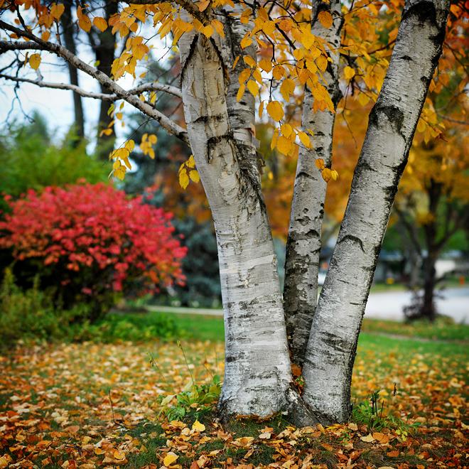 Birch tree-o