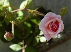 ...Quinta -Flower... (Gigi Arteira) Tags: amigos flower perfume flor rosa amizade quinta suavidade