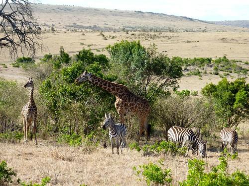 Giraffes and Zebras, Maasai Mara, Kenya