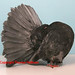 Fantail CH Andalusian Terry Lawler  Northam WA copy