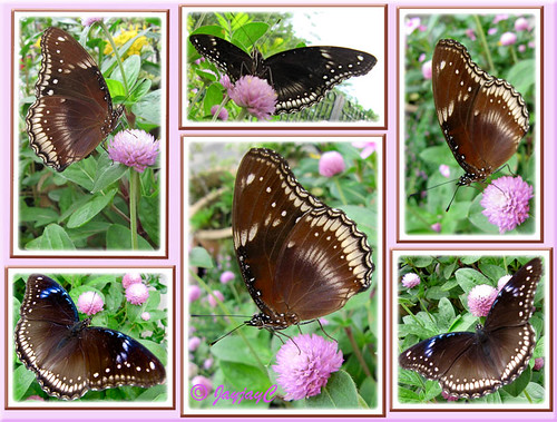 Butterfly Collage: Hypolimnas bolina jacintha (Jacintha Eggfly) in our tropical garden, November 5 2009