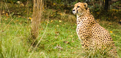 guepardo (Roberto Martinez [okinal]) Tags: animal cat mammal zoo smithsonian gato felino cheeta zoologico okinal