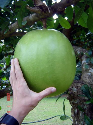 Crescentia cujete (Bignoniaceae)
