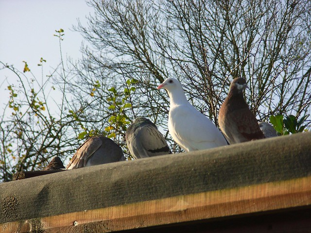 homing pigeon lofts
