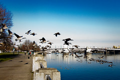 Geese fly out over the Willamette river