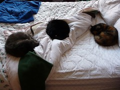 Cat Croissants (Philosopher Queen) Tags: cats three lucy chats bed gatos mina kitties multiple trio cleo cozycats catcroissants catcurlups
