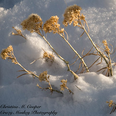 Rabbitbrush in the Snow