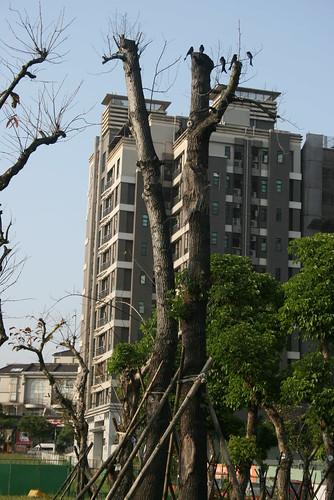 沒有樹梢的樹,雀鳥只能飛到光禿禿樹幹頂端。