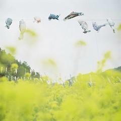 *swimming in the wind (fangchun15) Tags: flower 120 6x6 film japan spring kodak bronica yamanashi s2 菜の花 こいのぼり portra400 bronicas2 flyingcarp 鯉魚旗 南八ヶ岳花の森公園 道の駅南きよさと
