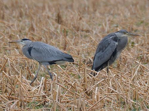 Graureiher Paar - Grey Heron - Fischreiher - Ardea cinerea