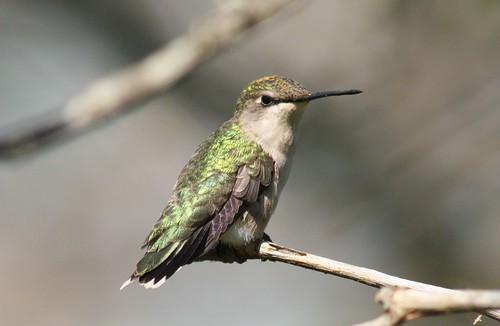 Ruby-throated Hummingbird - 5/29/2009
