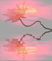 Lotus Flower SunSet Reflections - Animated gif - lotsunset (Bahman Farzad) Tags: flower macro lotus animated gif lotusflower lotusflowers lotuspetal lotuspetals lotusflowerpetals lotusflowerpetal