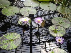 Water Lilly House Kew 2009 (soulman53) Tags: kewgardens waterlilies waterlillies reflectionflowerskewgardens