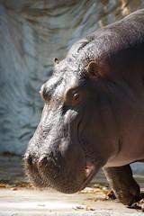 Tokyo Hippos (114 of 178) (ywslayer) Tags: tokyo hippos uenozoo pygmyhippos canonef28300mmf3556lisusm tokyozoo canoneos1dsmarkiii ywhew