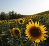 Classical sunflowers