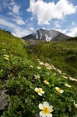 チングルマと旭岳