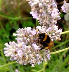 Bee-mine (artymiss1) Tags: flowers macro nature garden lavender bee