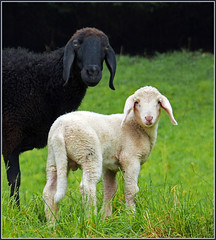 Mother and son ~~ (rotraud_71) Tags: green grass animals geotagged sheep searchthebest framed meadow pasture whiteblack 1on1animalsnonpetphotooftheweek natureselegantshots lovely~lovelyphoto drrnbergschaferl 1on1animalsnonpetphotooftheweekmay2010