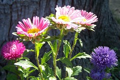 asters in the light