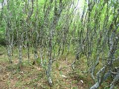 "Una ""foresta"" di biancospini"