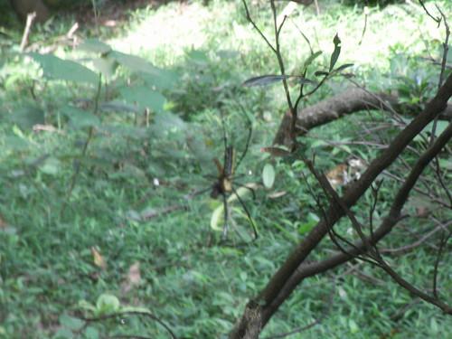 蜘蛛食蜻蜓
