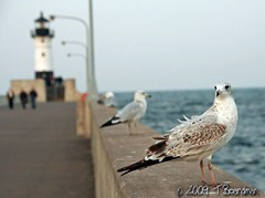 They watch (TBoard) Tags: park lake birds harbor canal bokeh gulls superior mn duluth