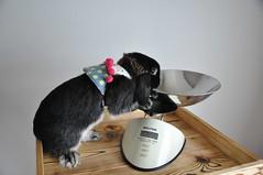 DSC_0084 (rabbitier) Tags: rabbit bunny nikon lapin usagi hollandlop   d90 blackotter