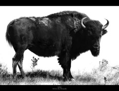 Bison (Kevin Aker Photography) Tags: blackandwhite bw favorite monochrome southdakota blackhills photography photo moving interestingness amazing interesting buffalo image photos wildlife favorites monotone images explore strong bison frontpage thebest custerstatepark flickrfavorites mostviews favoritephotos tatanka bestphotos favoritephotography coolimages photographyfavorites flickrsbest coolimage awesomecapture amazingphotos thebestonflickr amazingphotography coolphotography awesomeimages awesomeimage bestofblackwhite profesionalphotography strongphotography kevinaker kevinakerphotography everyonesfavorites coolcaptures showmethebestphotos exploremyphotography simplyawesomephotography bestphotographyonflickr photoswiththemostviews strongphoto