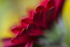 Fleurs, 0903, 4703 (NathalieSt) Tags: flowers red orange flower green fleur yellow fleurs jaune rouge vert naturesfinest macroflowerlovers exmesornebassenormandiefrance rougebordeau macroflowerloversprettyneat