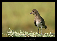Collared Pratincole (mohammad khorshid (boali)) Tags: bird birds canon is wildlife 600 kuwait mm usm 4l ef osk q8  kwt glareolapratincola pratincole       1dmk2n       kwvc  collared