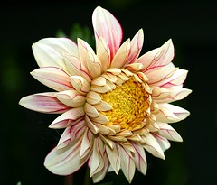 "Dahlia ""Polka"" (Liisamaria) Tags: friends oa excellence imagepoetry languageofflowers crystalaward ilovemypic flowersarebeautiful heartawards excellentflowers natureislovely worldofflowers macrolovers awesomeblossoms universeofflowers oneflowerperday angelawards flowerquest gardenparadise perfectpetails"