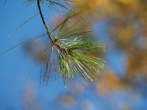Pine and Bokeh