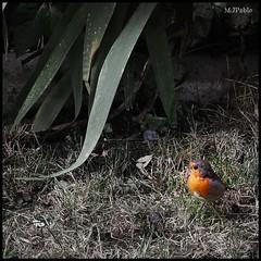 Robin (Merillou) Tags: light colour bird luz robin squareformat soria pjaro petirrojo posado nikond60 formatocuadrado colourartaward merillou