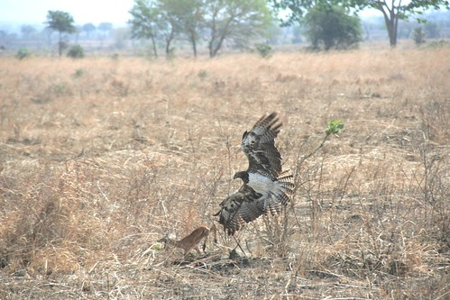 Martial Eagle attacking young Impala - 4 - Mikumi NP, Tanzania