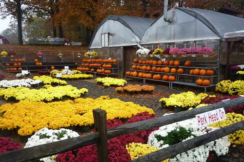 Chrysanthemums & pumpkins
