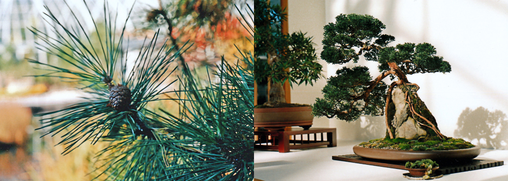 NYBG : Large Pine Tree & Small