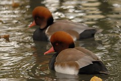 Due Fistioni turchi (giansacca) Tags: birds animals aves uccelli animaux animali vogel oiseaux racconigi redcrestedpochard nettarufina kolbenente lipu patocolorado netterousse fistioneturco associazionecentrocicogneeanatidi brantaroja