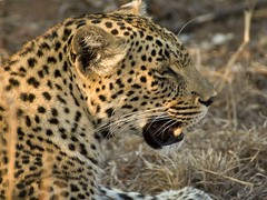 Leopard (Jason Shallcross) Tags: africa game south reserve leopard sands sabie part4 djuma