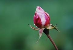 Dopo la pioggia (emanumela) Tags: nikon rosa pioggia d60 bocciolo 55200lens emanumela